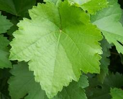 Picture for category Grape Leaves