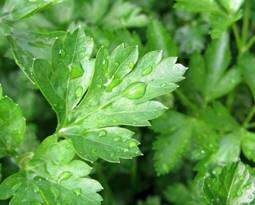 Picture for category Parsley