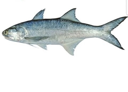 Picture of Shaem Fish Per KG