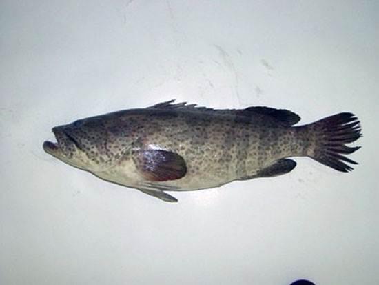 صورة سمك هامور بالكيلو