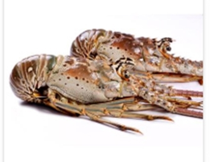 Picture of WHOLE LOBSTER OMANI 300/400 -1 X 10 KG