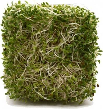 Picture of Alfalfa Sprouts Holland -100gm