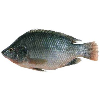 Picture of Taiwan tilapia 400/600 -1kg*10